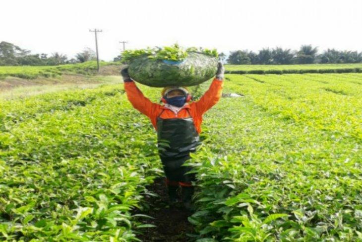 Plantation company PTPN IV logs net profits of Rp547.90 billion