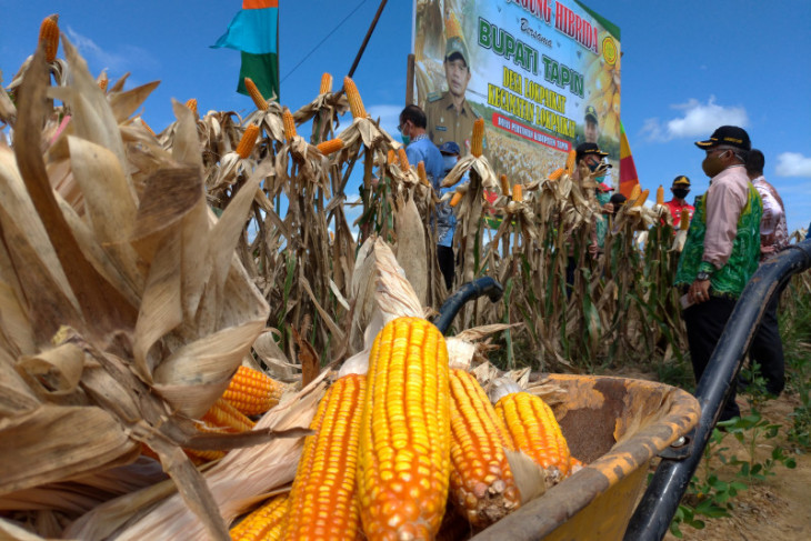 Tapin is prepared to be a hybrid corn center in South Kalimantan