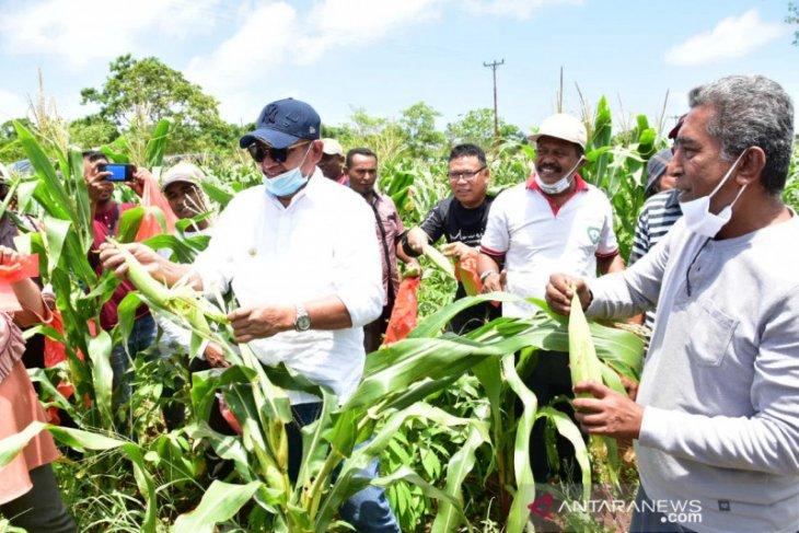 Bupati Malra  panen jagung kebun Vee Kes Yang