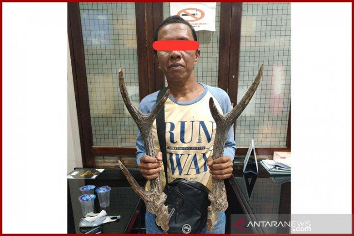 Miliki tanduk satwa dilindungi, warga Bengkulu ditangkap polisi