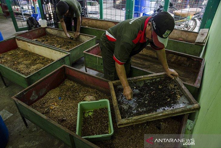 Budidaya Maggot pengurai sampah