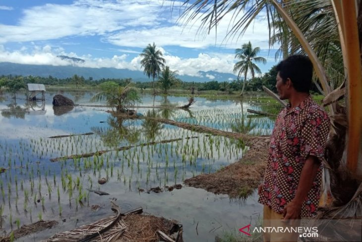 Ratusan hektare sawah di Tapsel terendam banjir, tanaman petani terancam puso