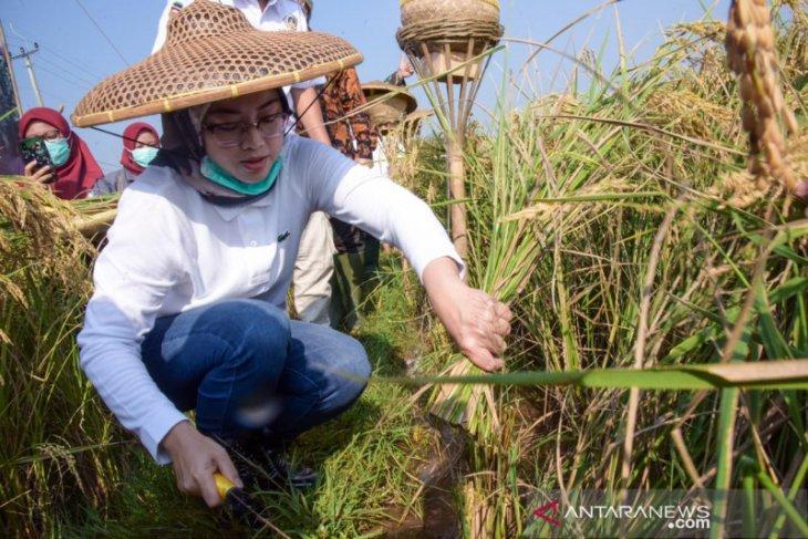 Purwakarta kembangkan 'Tarabas' varietas padi terbaru
