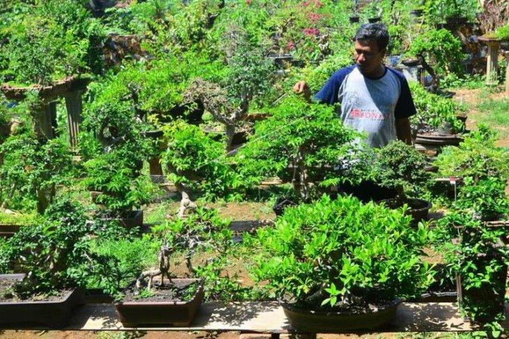 Budidaya tanaman bonsai
