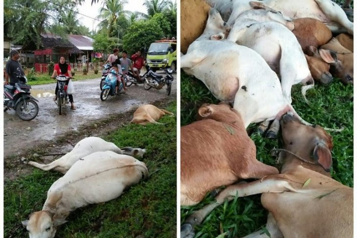13 ekor lembu milik warga mati akibat disambar petir