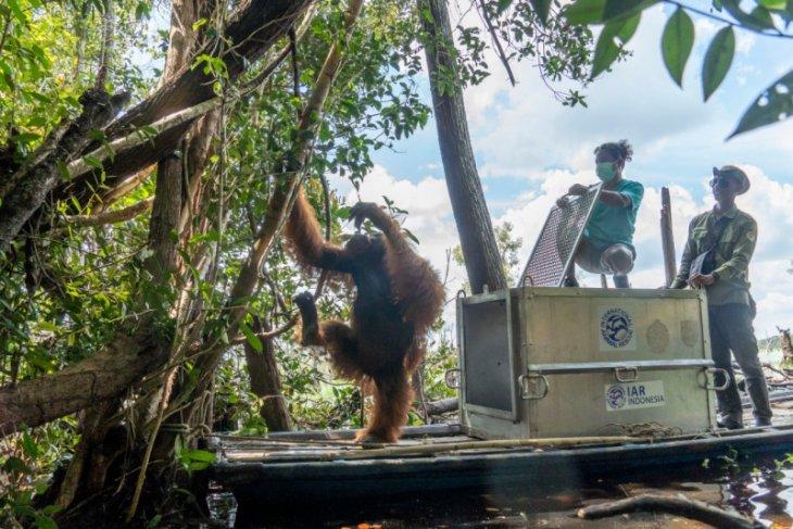BKSDA Kalbar dan IARI translokasikan orangutan ke hutan rawa gambut Ketapang