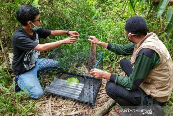 BKSDA Bengkulu lepasliarkan seekor Kucing Kuwuk