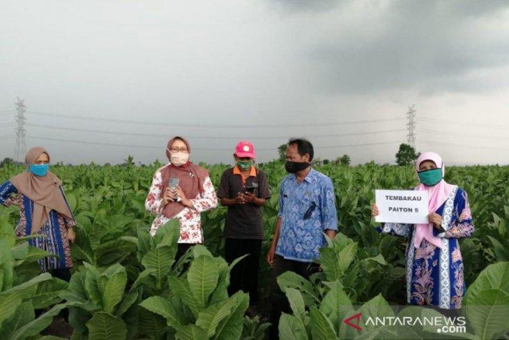 DKPP Probolinggo kenalkan varietas tembakau Paiton