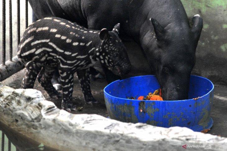 Kelahiran anak Tapir di kebun binatang Jambi