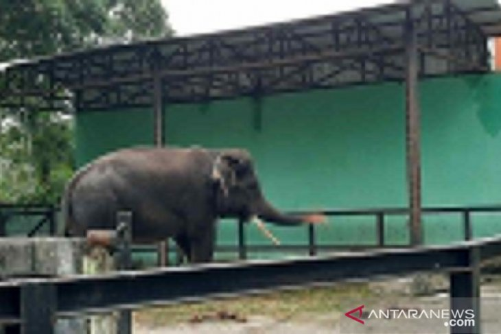 Pengelola Taman Rimba belum berencana datangkan gajah betina, Alfa sementara akan menjomblo