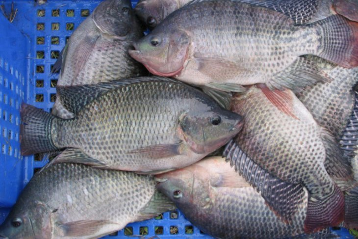 KKP kembangkan komoditas ikan  unggulan jenis nila srikandi