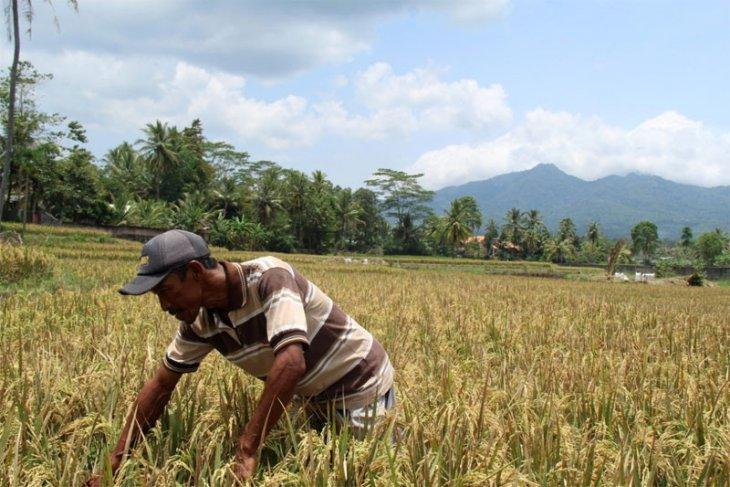 Berkah Limbah PTPN VII Untuk Petani Bagelen