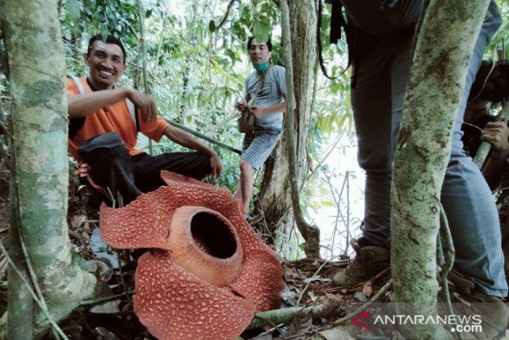 Bunga Rafflesia arnoldii mekar di Rejang Lebong berdiameter 80 cm