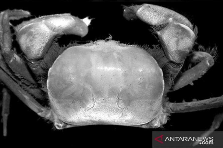 Dua spesies kepiting baru ditemukan di area kerja Freeport