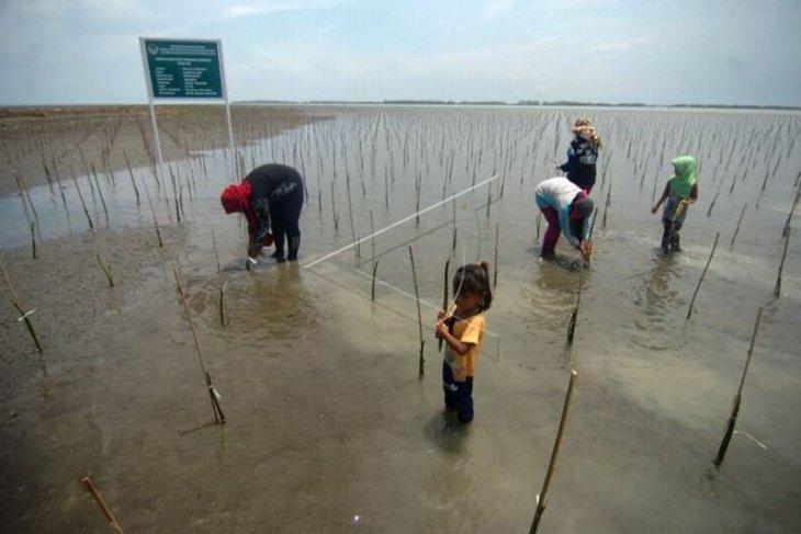 Program penanaman kembali mangrove