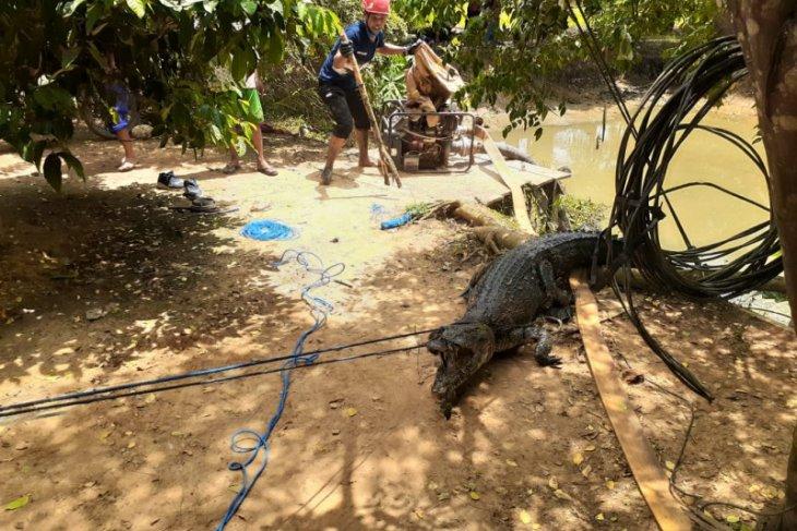 Tim Rescue DPKP Kutim Evakuasi Buaya di Kolam Ikan