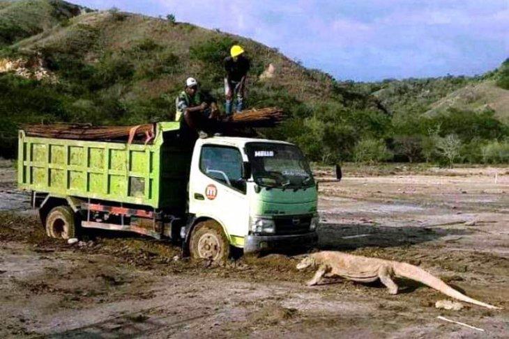 Seekor komodo hadang truk pengangkut material
