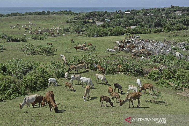 Ternak sapi di bukit Teletubbies