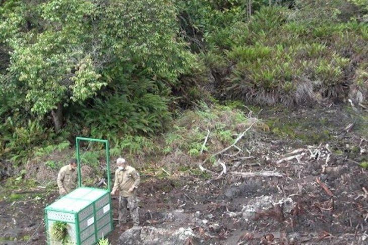BBKSDA Sumut  lepasliarkan Harimau Sumatera ke TNGL Gayo Lues