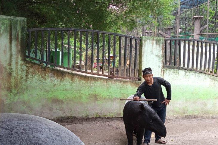 Keeper Taman Rimba kembangbiakkan Tapir berbekal pengalaman pelihara sapi