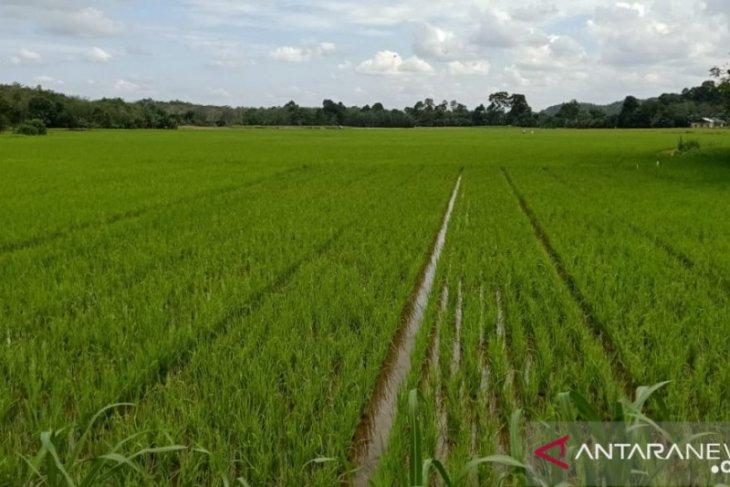 Produksi padi Kalbar Januari - September 717. 410 ton GKG