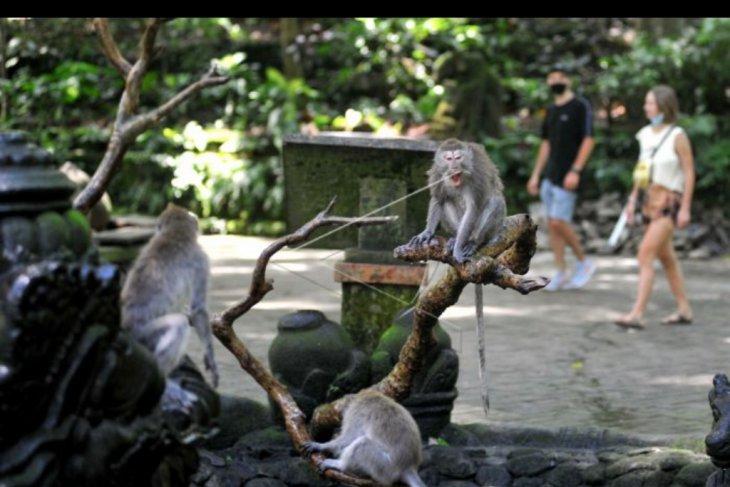 Monkey Forest dibuka kembali