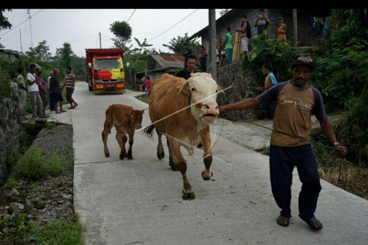 Warga Merapi evakuasi ternak