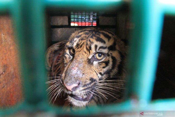 BBKSDA Sumut pasang kamera pantau harimau Sumatera di Langkat