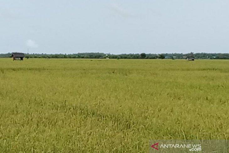 Petani Babulu Penajam gunakan pola tanam padi tradisional