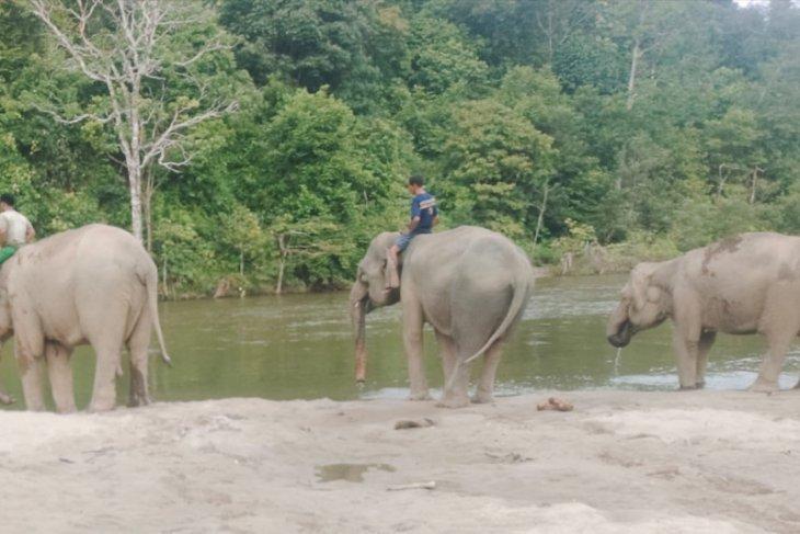 Konflik gajah dan manusia, salah siapa?