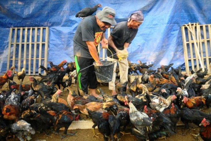 Equitas Global masih temukan praktik ternak ayam berisiko