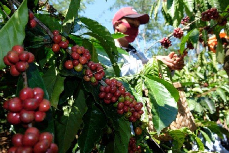 AEKI prediksi ekspor kopi Sumut mulai membaik