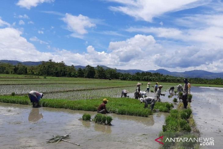 300 hektar sawah di Waekasa Waeapo Buru terendam banjir perlu diantisipasi