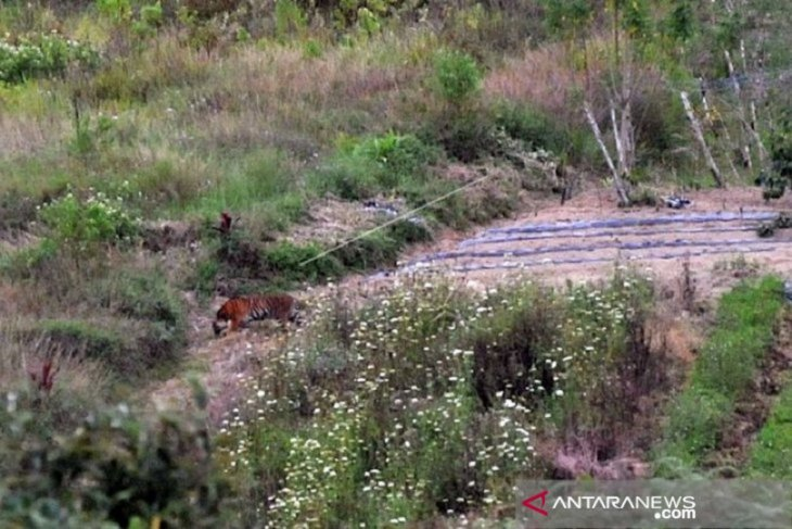 Hunt continues for Sumatran tigers spotted in Solok