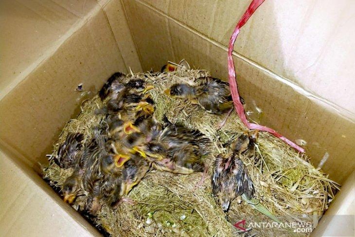 Pengiriman ratusan burung berkicau tanpa dokumen ke Surabaya digagalkan