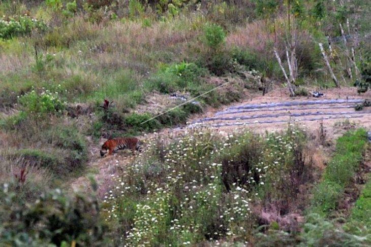 Harimau Sumatera Berada di Ladang Warga