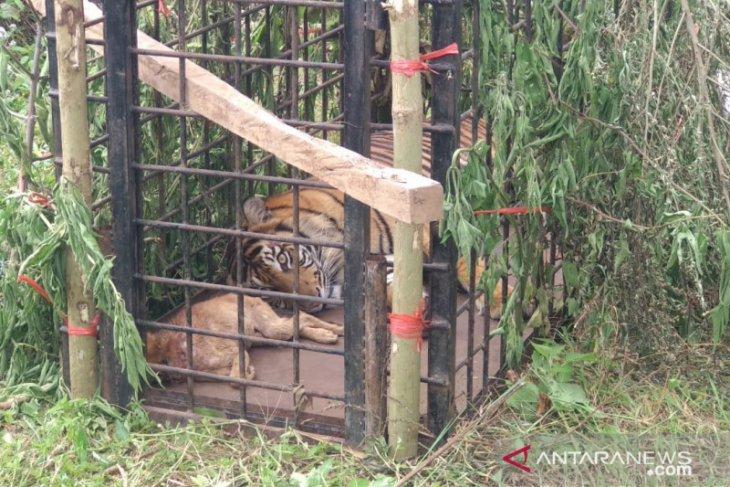 Seekor harimau yang berkeliaran di tepi danau ditangkap