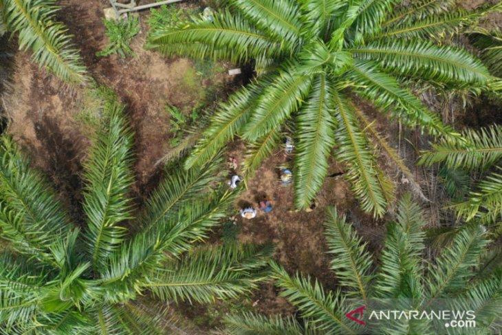 Pekerja perempuan juga berperan di perkebunan sawit