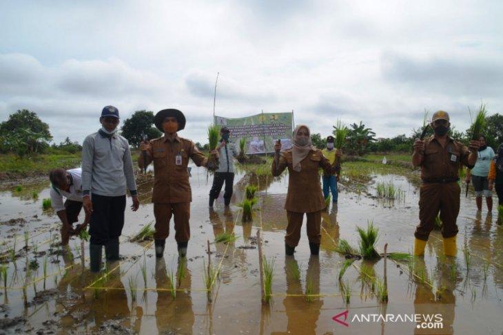 Manfaat IPDMIP petani Desa Banitan bisa tanam padi unggul