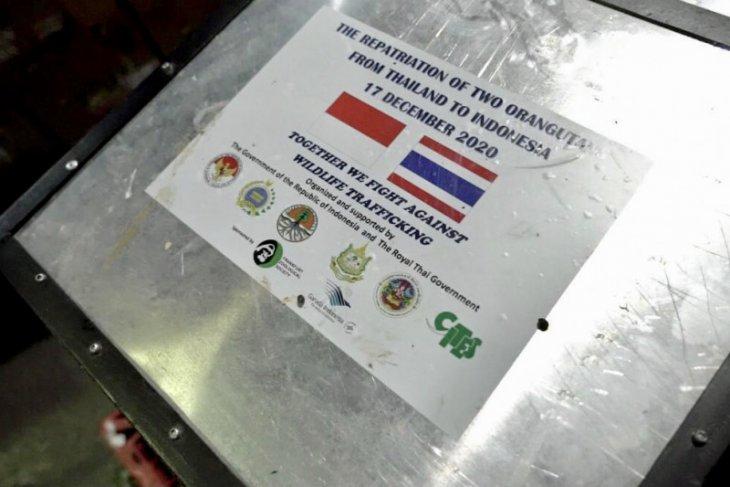 11 orangutan sumatera pulang kampung