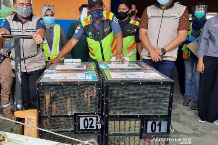 2 ekor orang utan yang dipulangkan dari Thailand direhabilitasi di Tanjabbar