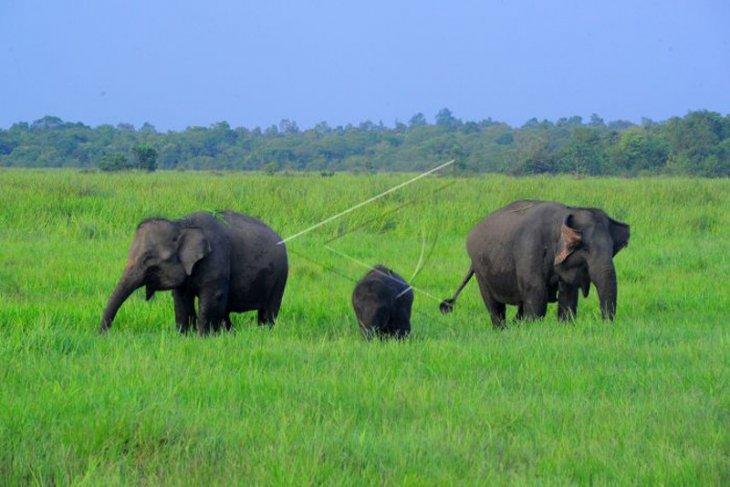Gajah Sumatera di Taman Way Kambas