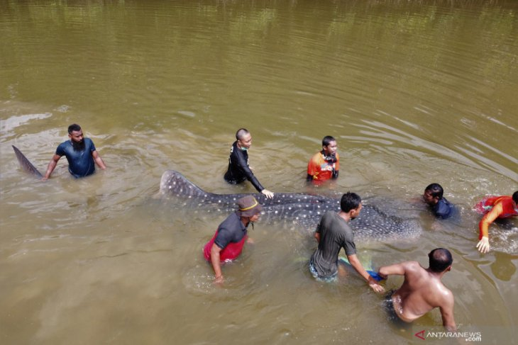 Bangkai hiu paus tutul terdampar di Pantai Ciraragan Cianjur