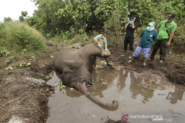 More clusters of Sumatran elephant rehab centers required: Walhi