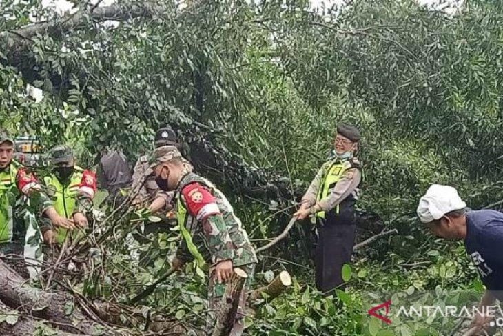 Polres Bangli bersama TNI evakuasi pohon Akasia tumbang