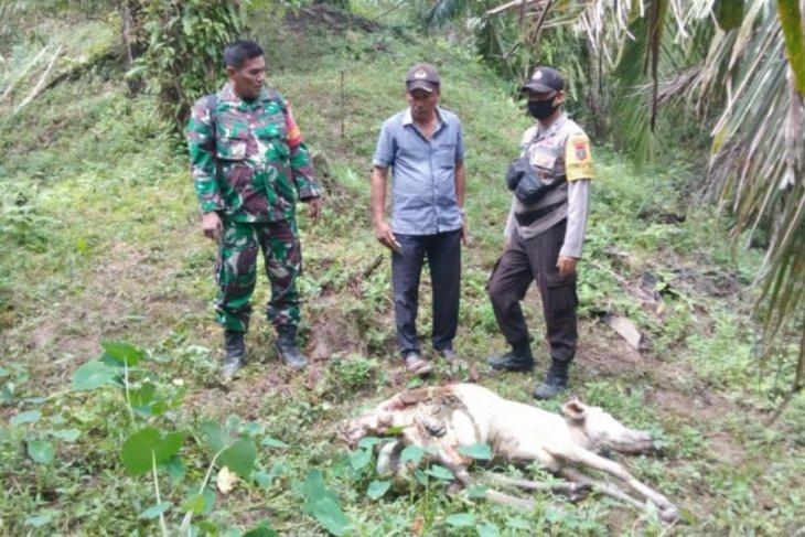 Dua ekor lembu milik warga Bahorok Langkat diterkam harimau