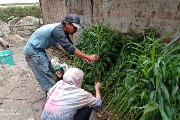 Penangkar benih jahe Lebak raih keuntungan di tengah pandemi