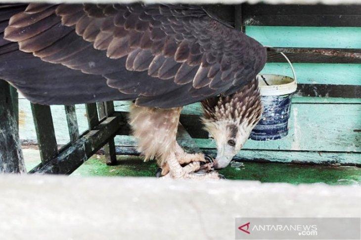 BKSDA terima seekor elang laut dari warga Sampit
