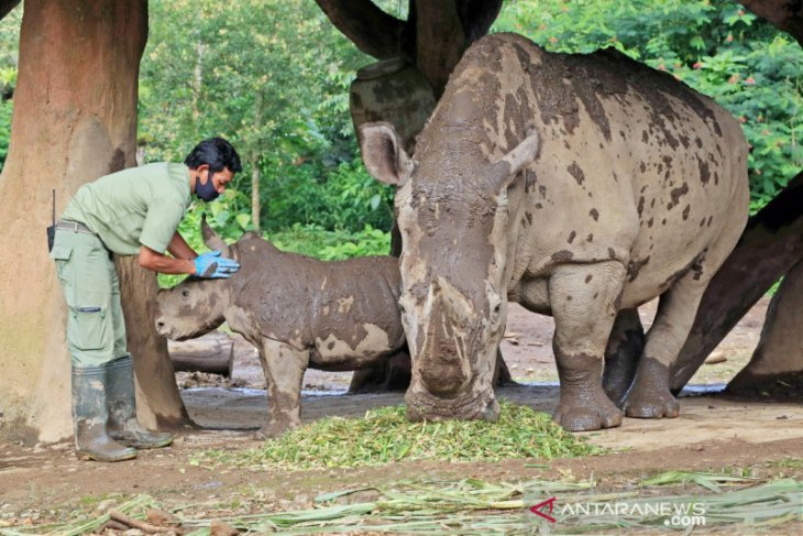 Koleksi badak putih di Taman Safari Bogor bertambah meski spesiesnya terancam punah