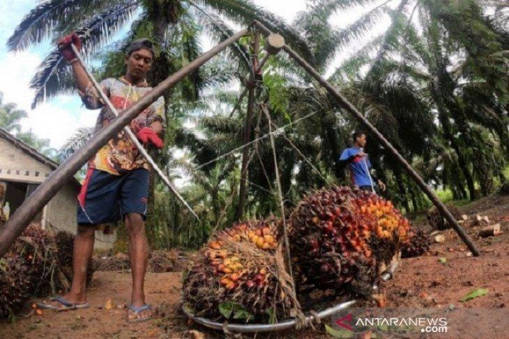 Harga CPO di Jambi naik tipis menjadi Rp9.237 per kilogram